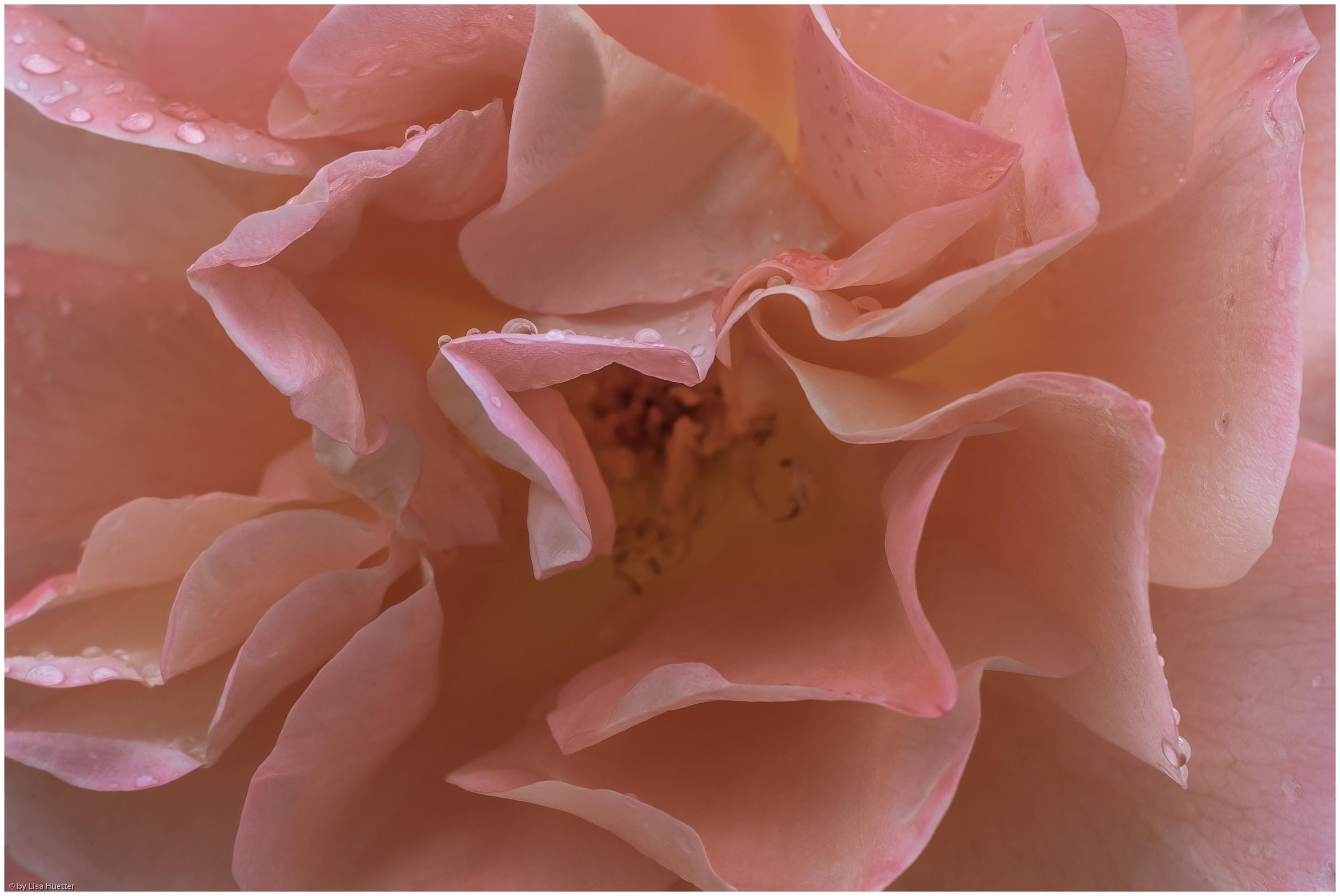 rosen pfingstmontag 044-1-2